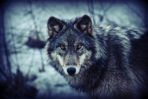 silver wolf shonda brock 2